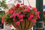 "22"" Hanging Basket"